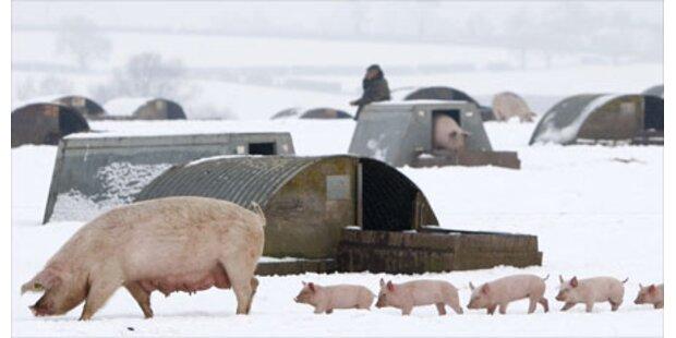 Briten jagen Schweine in die Luft
