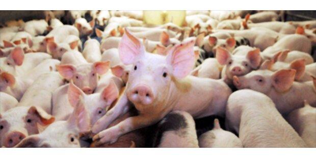 Dioxin-verseuchtes Fleisch wurde schon verzehrt
