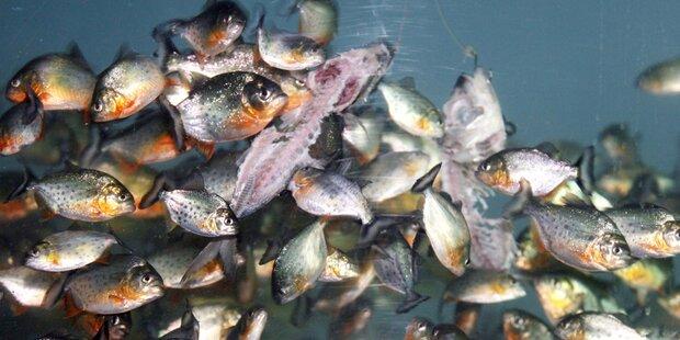 Wirbel um Piranha-Alarm in Oberösterreich