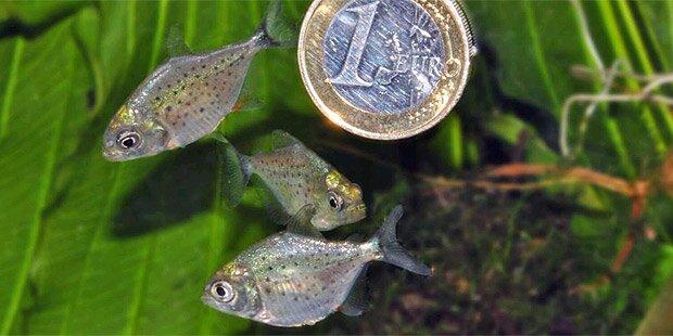 Piranha-Babys im Haus des Meeres