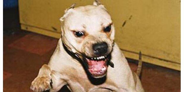 Bub biss Pitbull in Brasilien in die Flucht