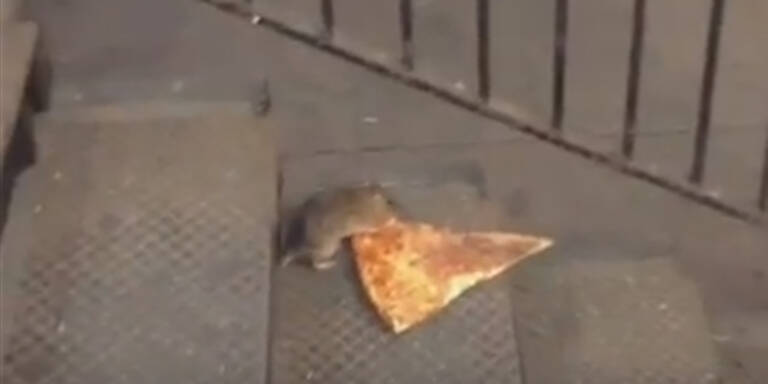 """""""Pizza-Ratte"""" wird zum Internet-Hit"""