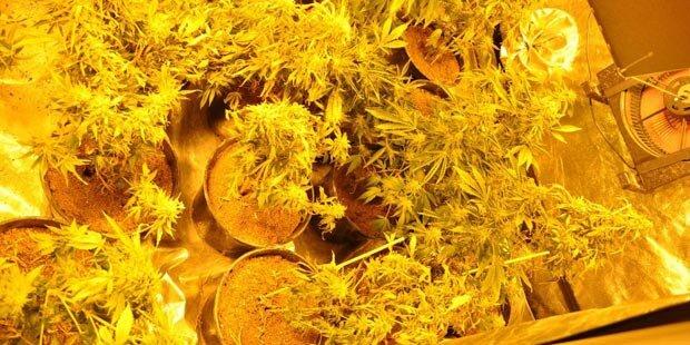 Wilder Streit: Cannabis-Plantage aufgeflogen