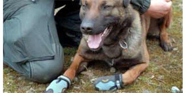 Britische Polizeihunde sollen Schuhe tragen