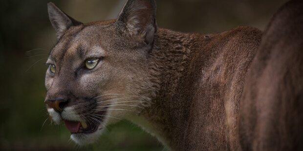 Puma tötet Mountainbiker in den USA