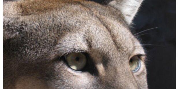 Puma zerfleischt Siebenjährigen