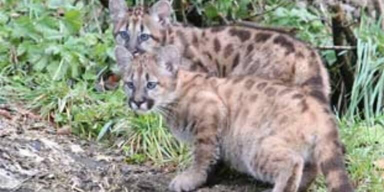 Die drei Monate alten Puma-Mädchen Valentina und Viktoria im Zoo Salzburg