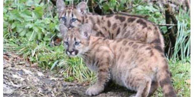 Erster Ausflug der beiden Puma-Mädchen