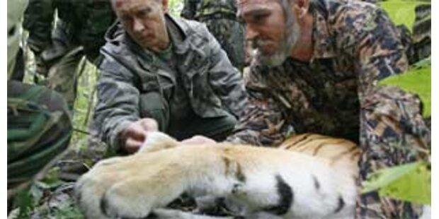 Putin rettet Journalisten vor Tiger