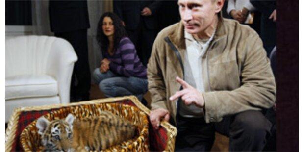 Putin bekommt Sibirischen Tiger zum Geburtstag