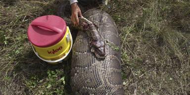 Python Hirsch