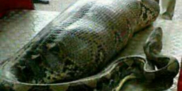 Hat diese Python einen Menschen gefressen?