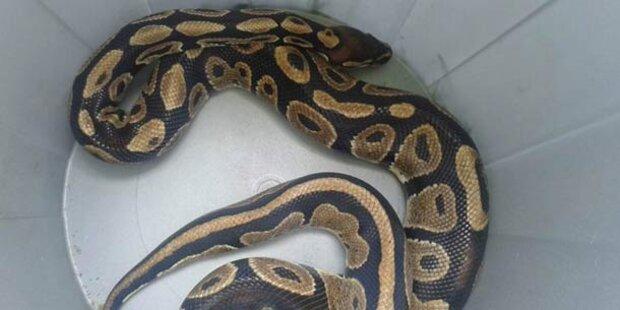 Python im Mistkübel - Besitzer hielt Tier für tot
