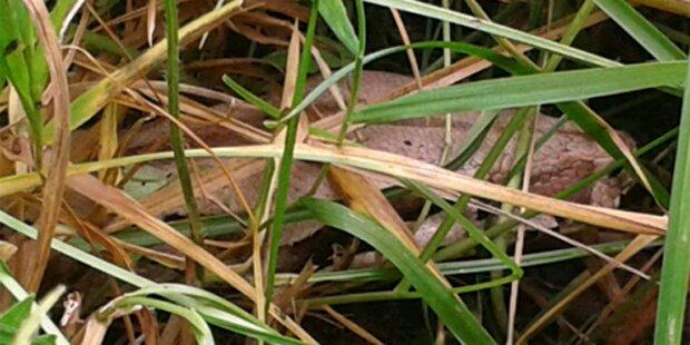 Zwei-Meter-Python lag in Straßengraben