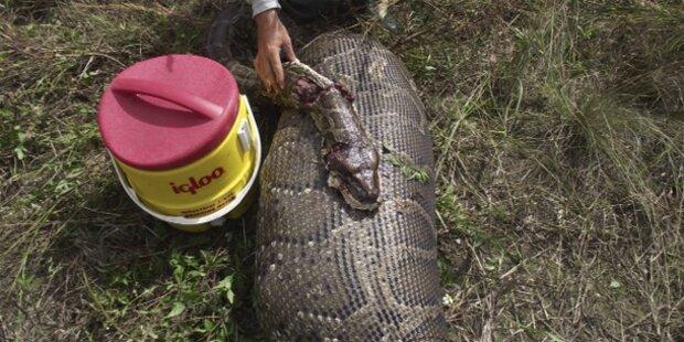 Python verschlingt ganzen Hirsch