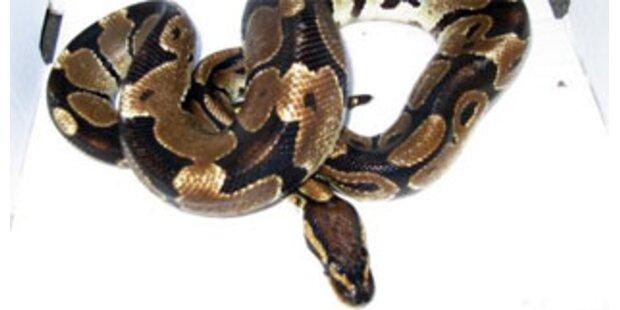 2,5-Meter-Python wickelte sich um Kühlergrill