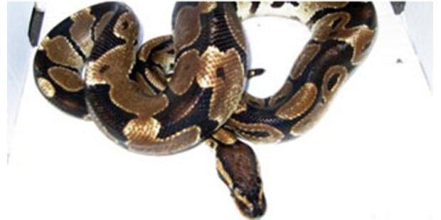 Spanier fand Python in Toilette