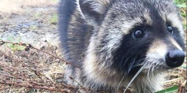 Besoffene Waschbären sorgten in Milton für Angst und Schrecken