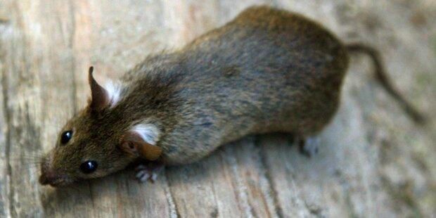 Pfefferspray gegen Ratte: Vier Verletzte