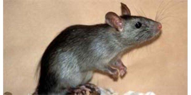 Hungersnot in Indien wegen Rattenplage