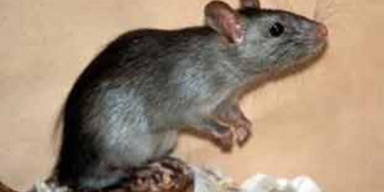 Indische Armee muss gegen Ratten vorgehen