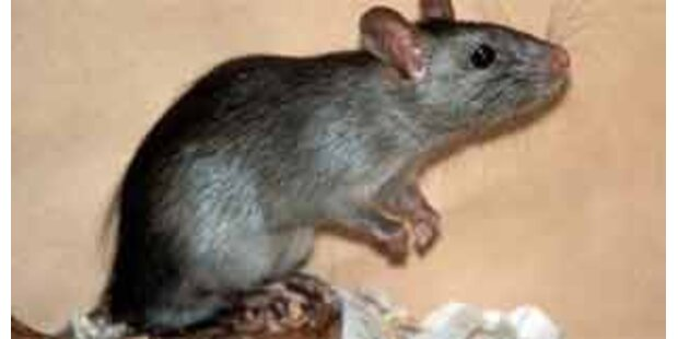Gelähmter im Spital von Ratten angefressen