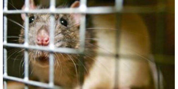 Kopfgeld für tote Ratten in Indien