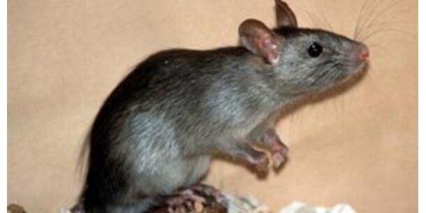 Forscher entwöhnten Ratten vom Alkohol