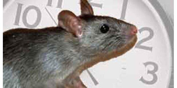 Ratten fressen tote Obdachlose