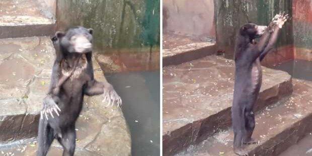 Hier betteln hungernde Zoo-Bären um Futter