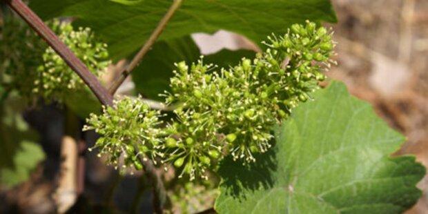 Am WeinWegGols den Ursprung erwandern