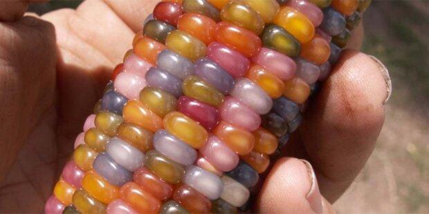 USA: Farmer züchtet Regenbogen-Mais