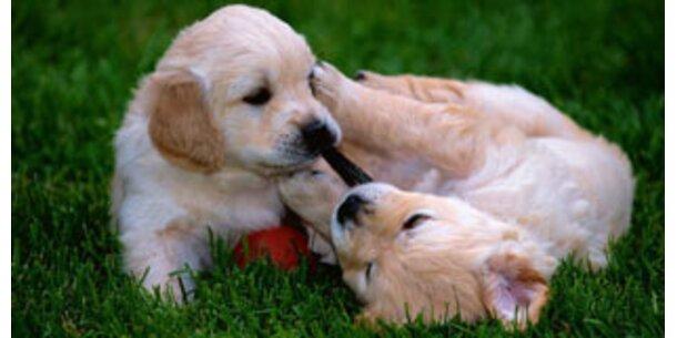 Erste geklonte Drogenhunde starten Ausbildung