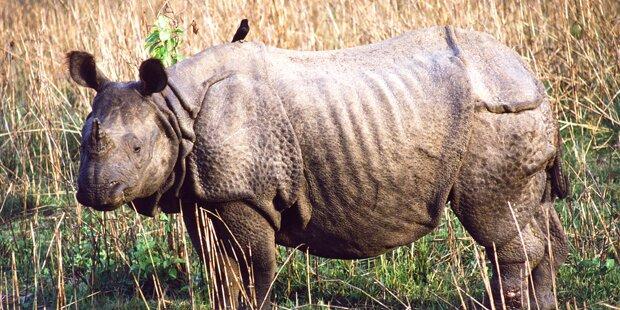 Seltenes Nashorn stirbt bei Paarungsversuch