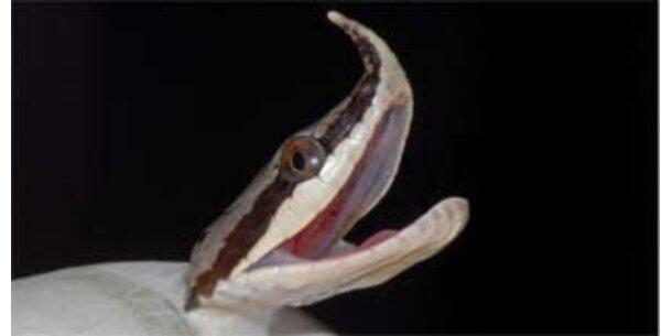 Hier kommt eine Langnasenschlange zur Welt