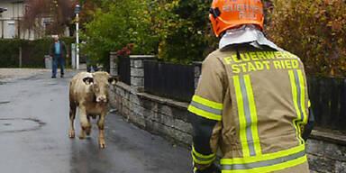 Polizei erschießt ausgerissenen Stier