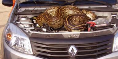 Riesen-Python im Motorraum entdeckt