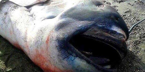 Mysteriöser Hai: Erst 66 Mal gesichtet
