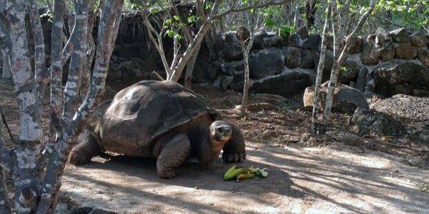 Galápagos-Riesen- schildkröte Pepe ist tot