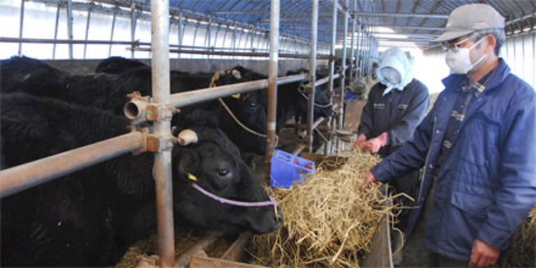 Japan: Rinder und Grundwasser verstrahlt