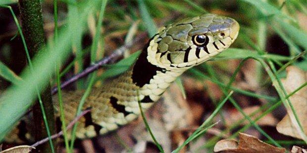 Kleinkind (1) beim Spielen von Schlange gebissen