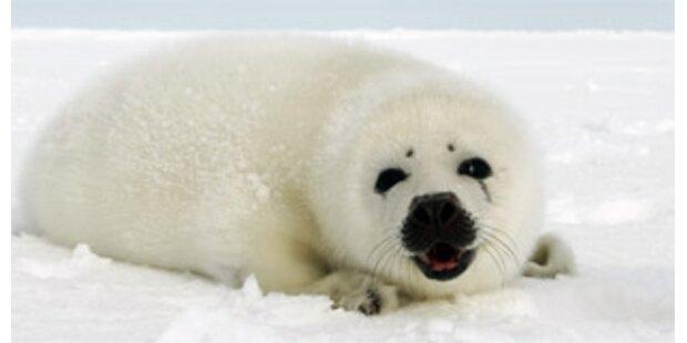 Russland plant Verbot der Jagd auf Robbenbabys