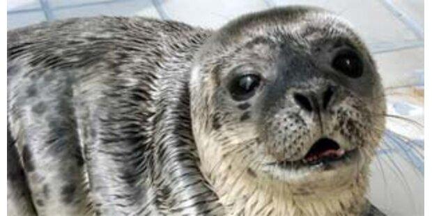 Beginn der Robbenjagd in Kanada