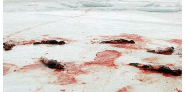 Die blutige Robbenjagd hat begonnen