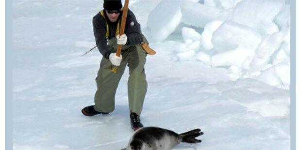 EU verbietet Handel mit Robben-Produkten