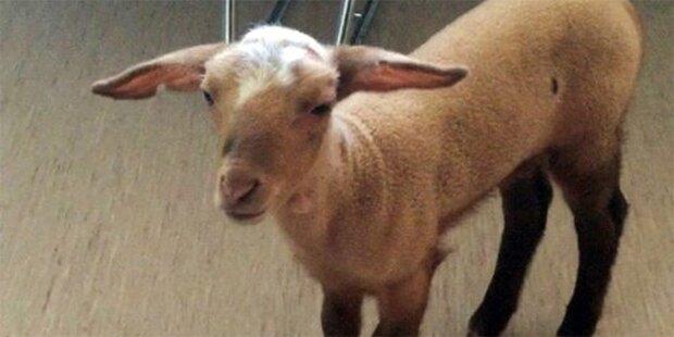 Bordell-Schaf ist wieder im Zoo