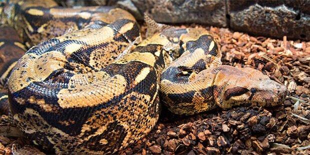 Wiener hielt 38 Pythons im Wohnzimmer