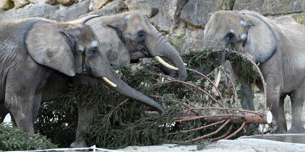 Schönbrunn-Elefanten bekommen Christbaum zum Frühstück