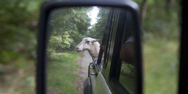 Autofahrer hatte fünf Schafe im Gepäck