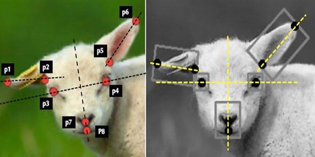 Software erkennt unglückliche Schafe